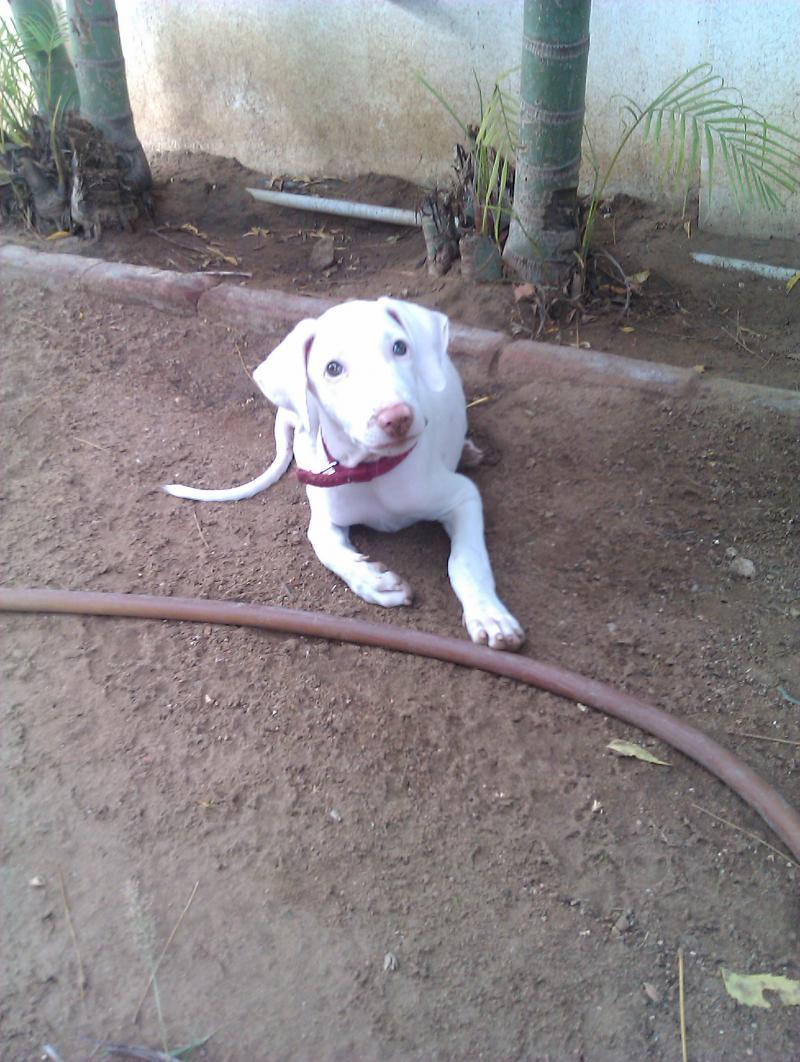 Rajapalayam Dog: Rajapalayam Rajapalayam Dog Rajapalayam Price In Indiarajapalayam Puppy Breed