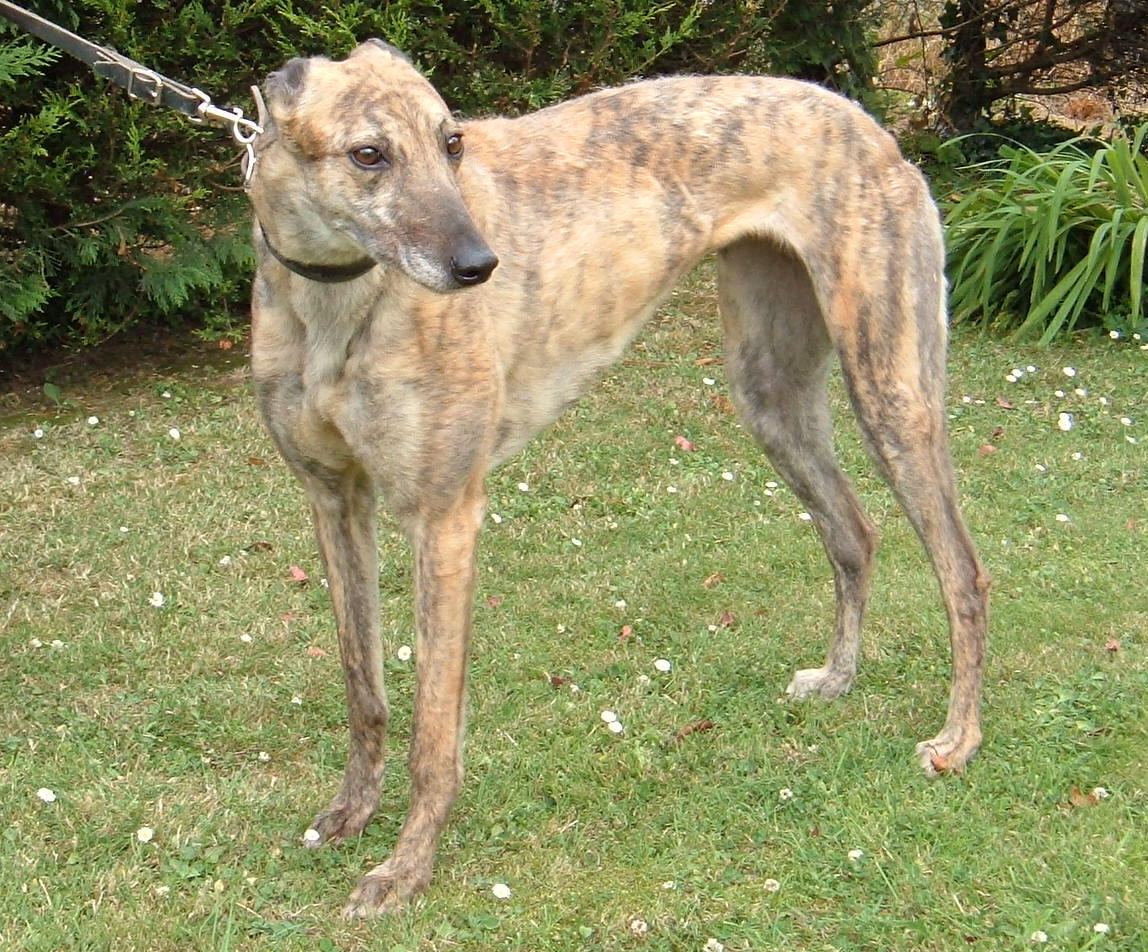 Rampur Greyhound Dog: Rampur Beautiful Greyhound Dog Breed