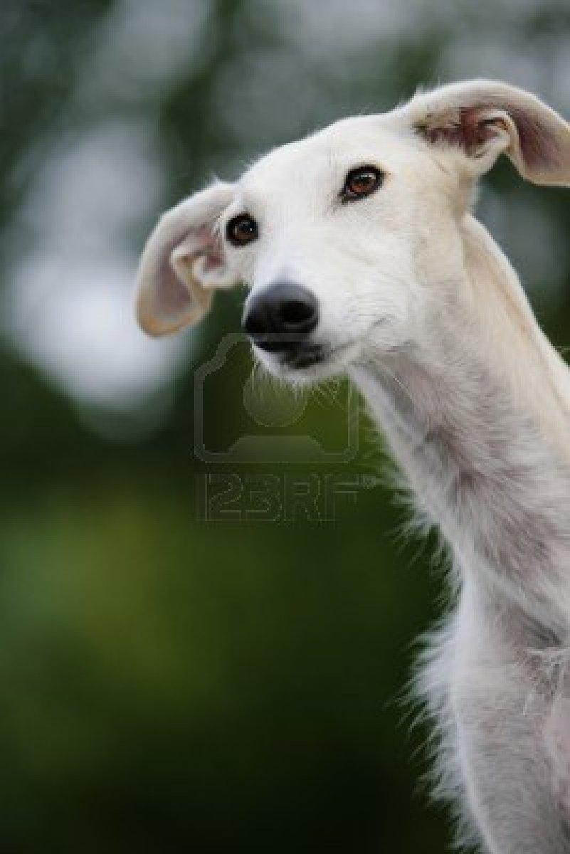 Rampur Greyhound Puppies: Rampur Cartoon Dogs Breed