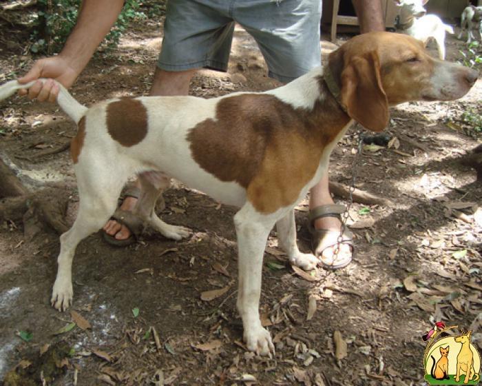 Rastreador Brasileiro Dog: Rastreador Brazilian Tracker Breed