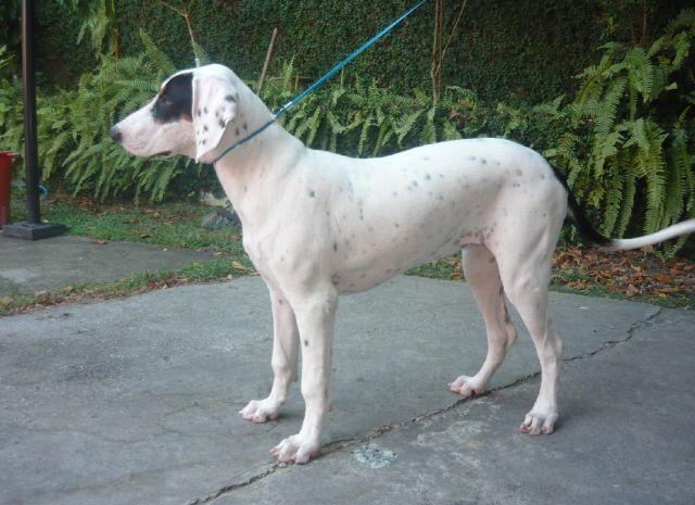 Rastreador Brasileiro Dog: Rastreador Breed