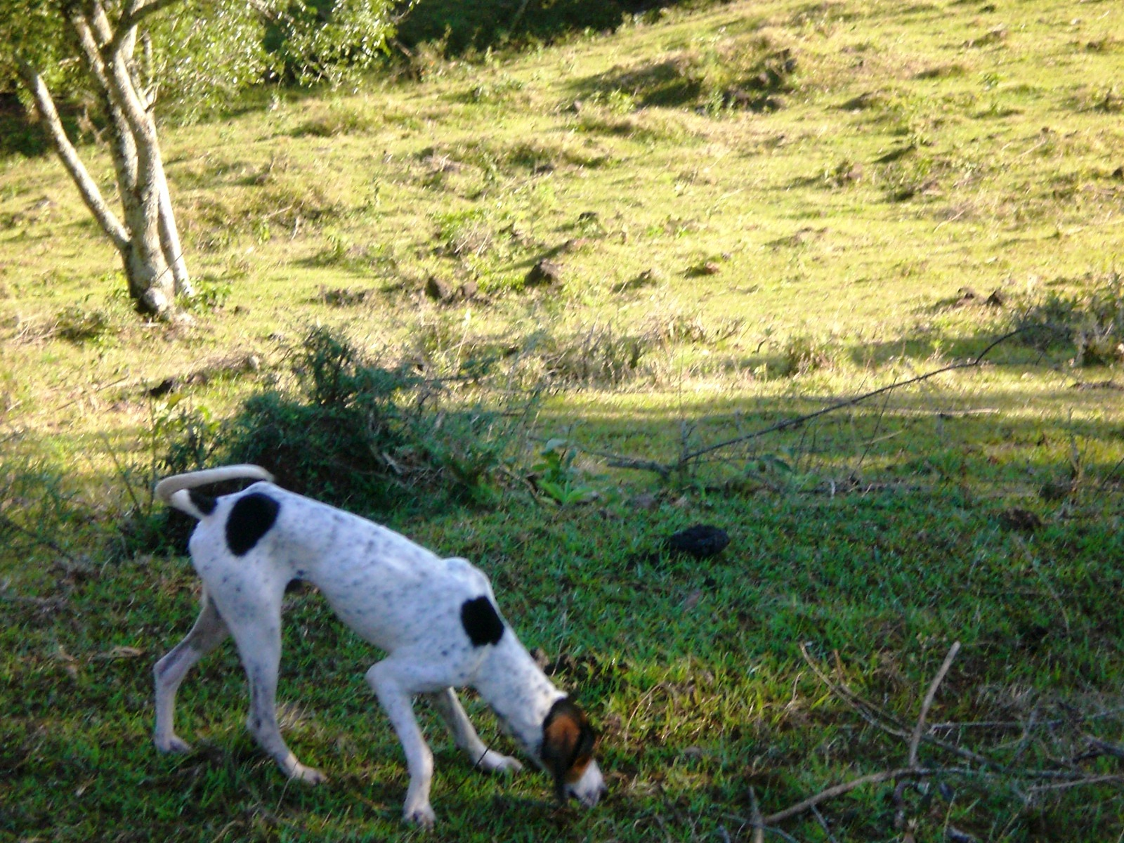 Rastreador Brasileiro Puppies: Rastreador Chesapeake Bay Retriever And Cats Breed