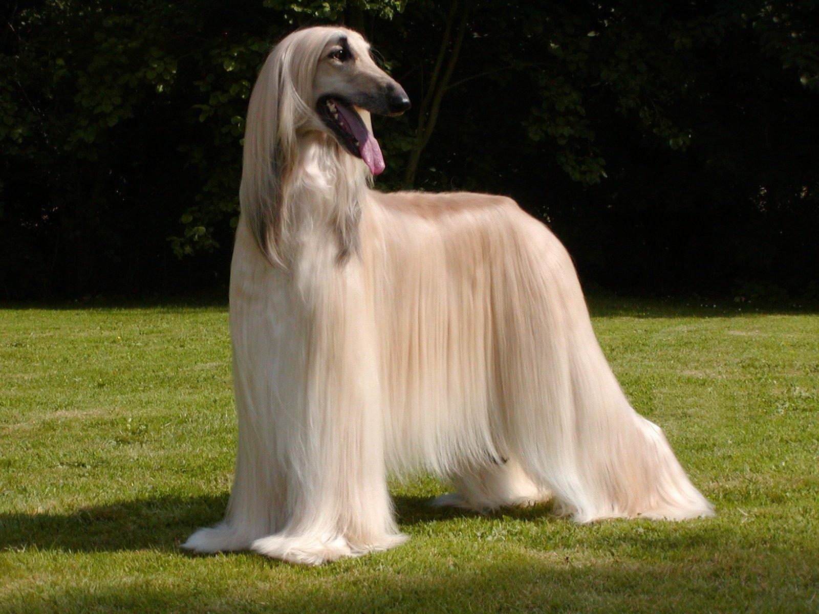 Rastreador Brasileiro Dog: Rastreador Rastreador Brasileiro Breed