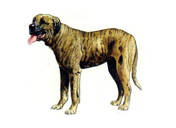 Rastreador Brasileiro Dog: Rastreador Rastreador Breed