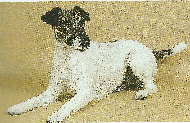 Rastreador Brasileiro Puppies: Rastreador Resting Fox Terrier Smooth Dog Breed