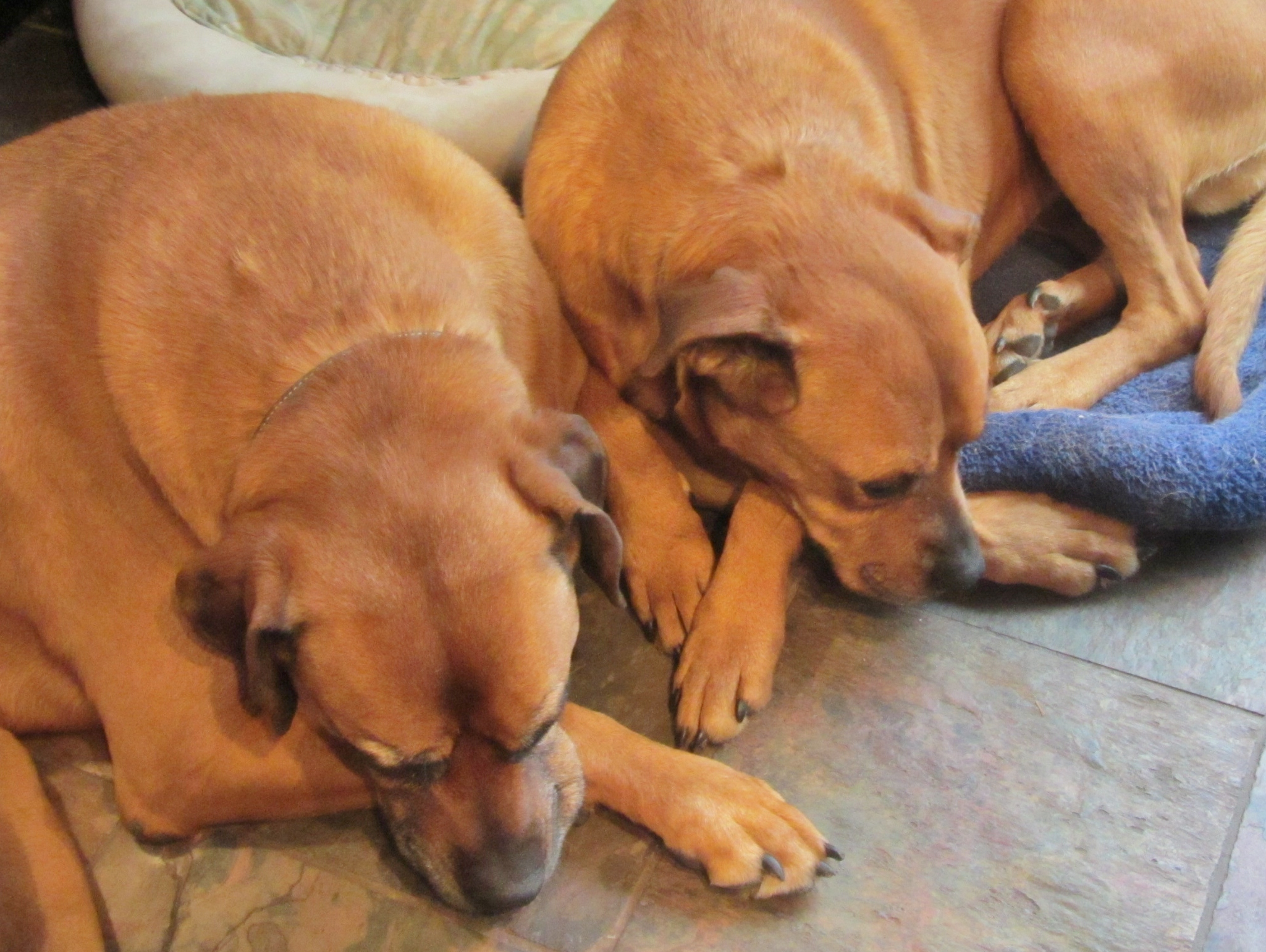 Rastreador Brasileiro Puppies: Rastreador Rhodesian Ridgeback Puppies Breed