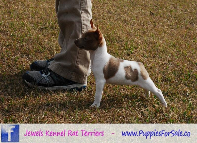 Rat Terrier Puppies: Rat Diamond Rat Terrier Breed