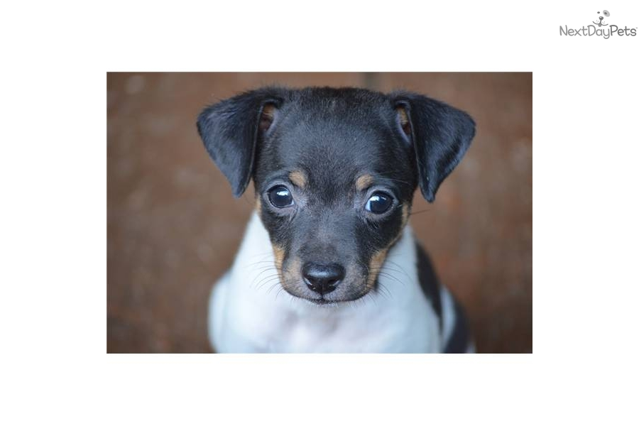 Rat Terrier Puppies: Rat Ffd E Breed