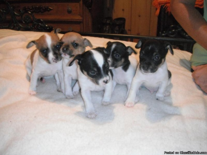 Rat Terrier Puppies: Rat Full Blooded Rat Terrier Puppies For Sale To Good Home Price Breed