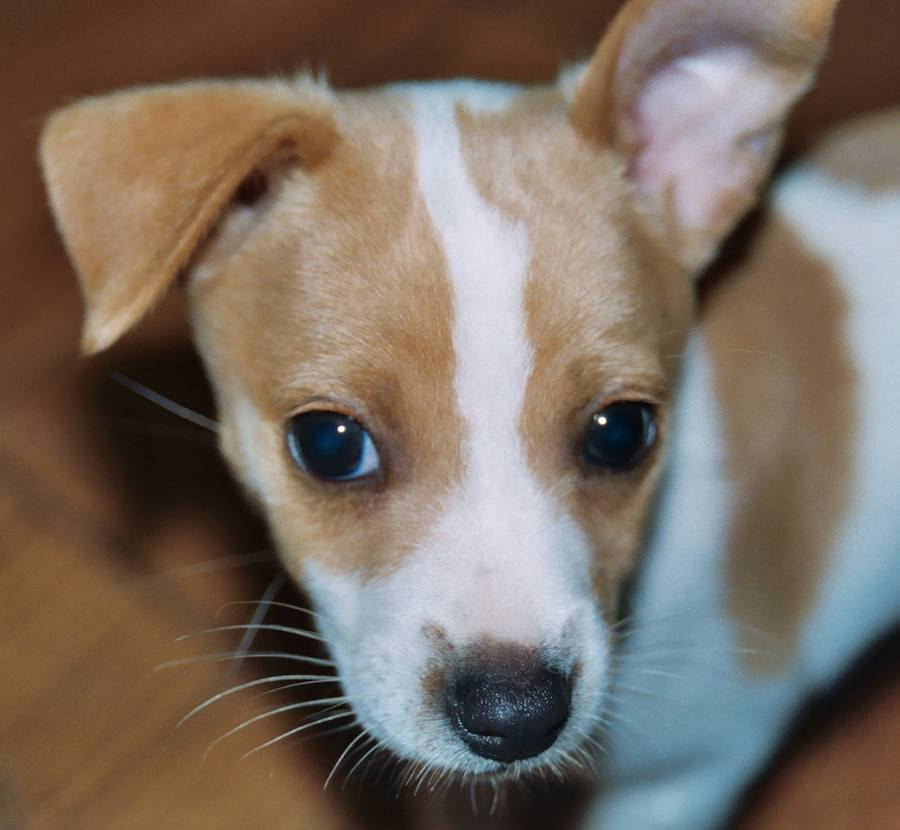 Rat Terrier Puppies Puppy Dog Gallery