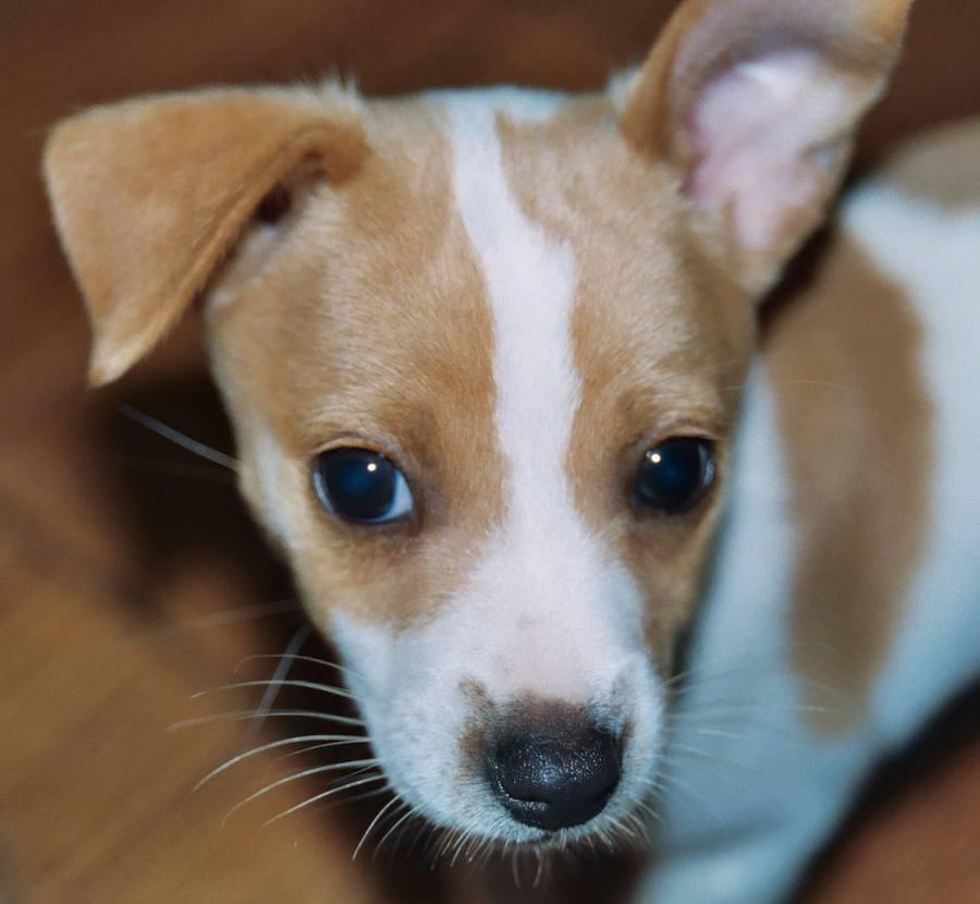 Rat Terrier Puppies: Rat Gabriella The Pug Rat Terrier Puppies Daily Puppy Breed
