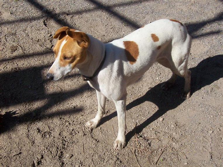 Rat Terrier Puppies: Rat Puppies Breed