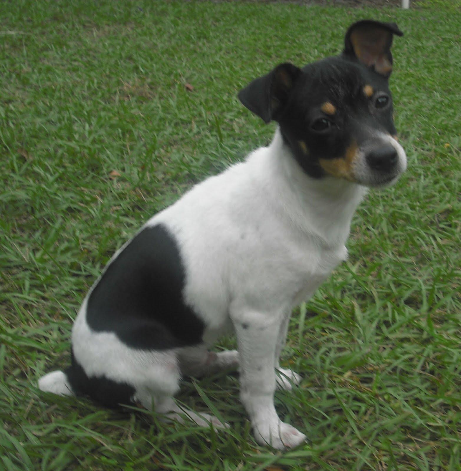 Rat Terrier Dog: Rat Rat Terrier Dog Breed