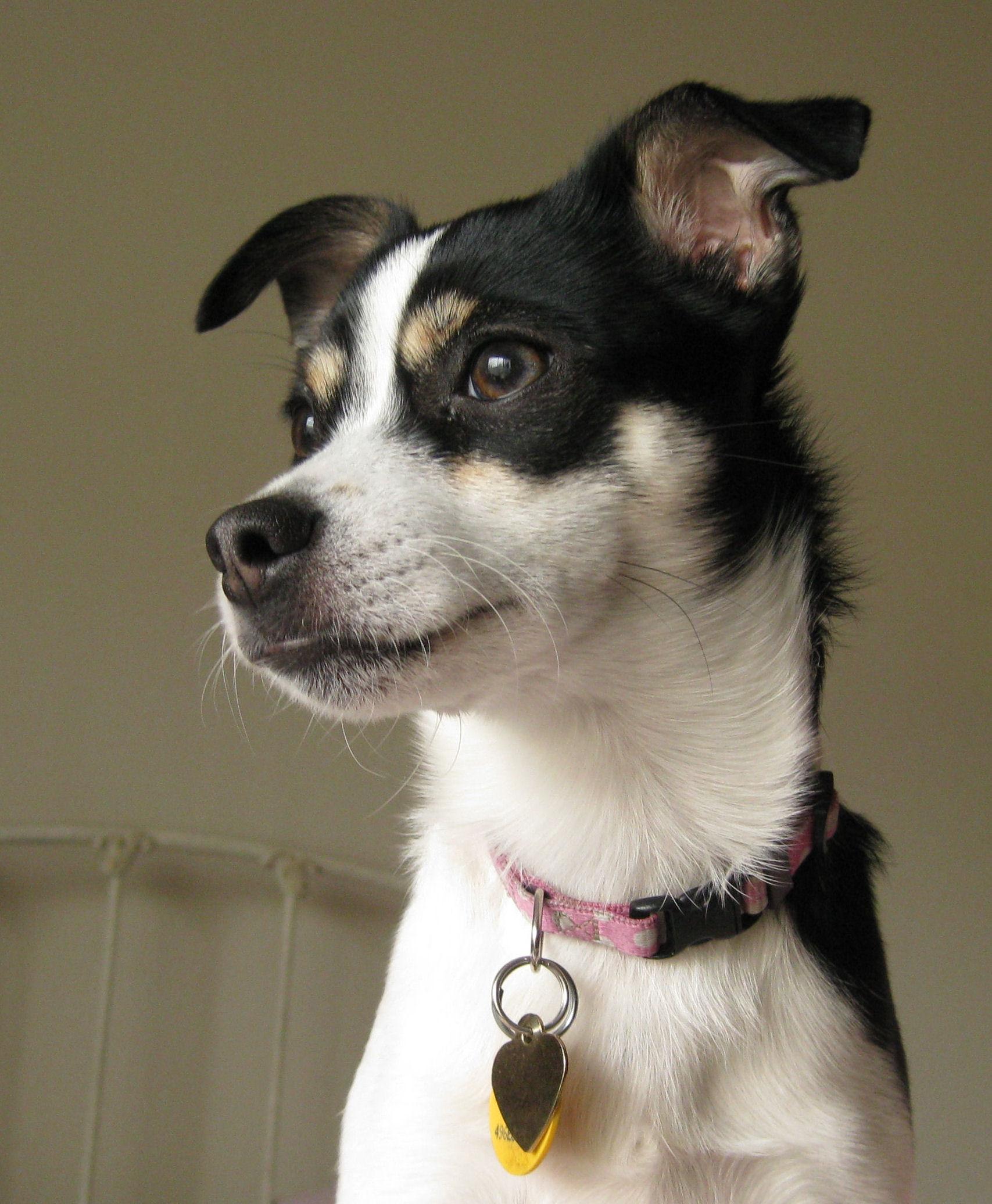 Rat Terrier Dog: Rat Rat Terrier Dog Face Breed