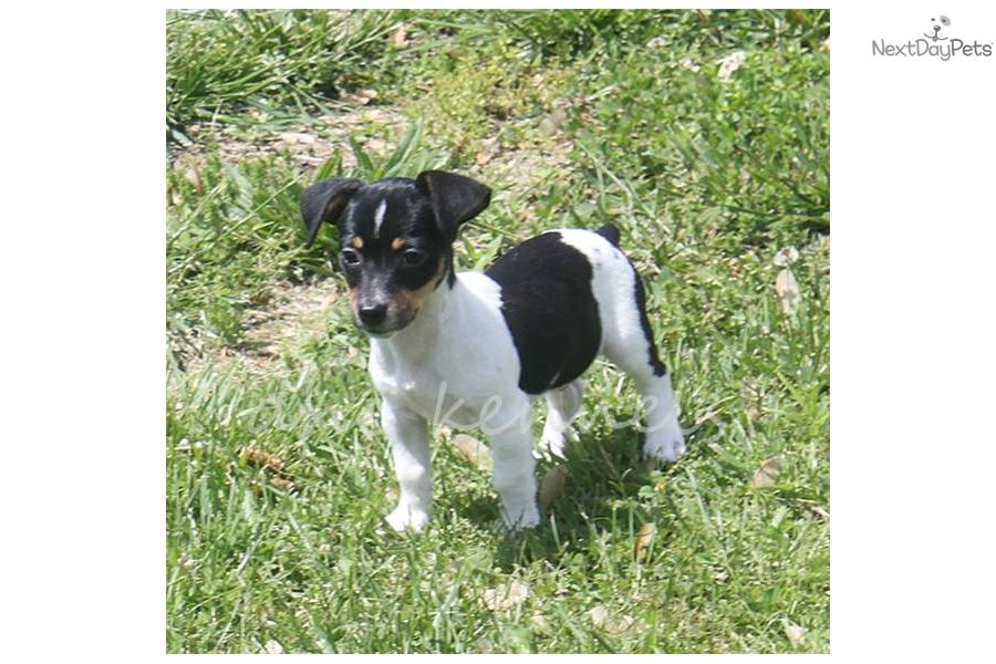 Rat Terrier Dog: Rat Rat Terrier Dogs Puppies Toy Terriers Breed