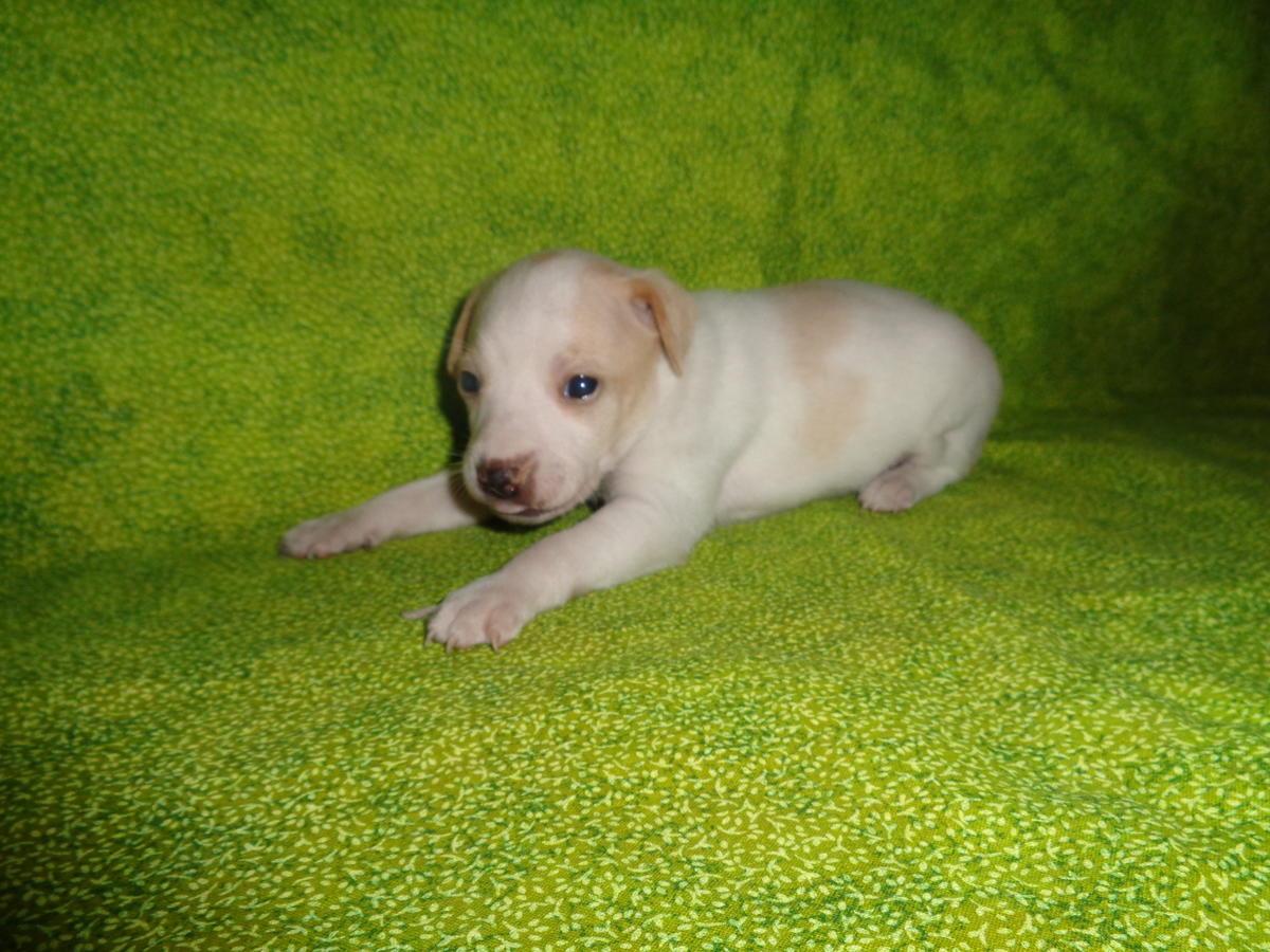 Rat Terrier Puppies: Rat Rat Terrier Puppies Breed