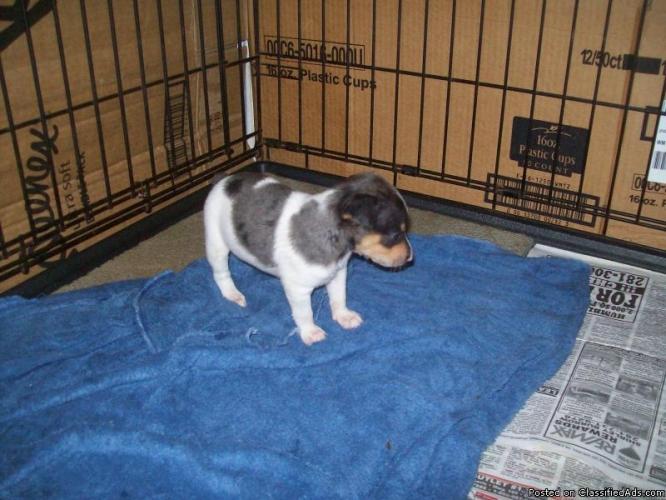 Rat Terrier Puppies: Rat Rat Terrier Puppies Price Breed