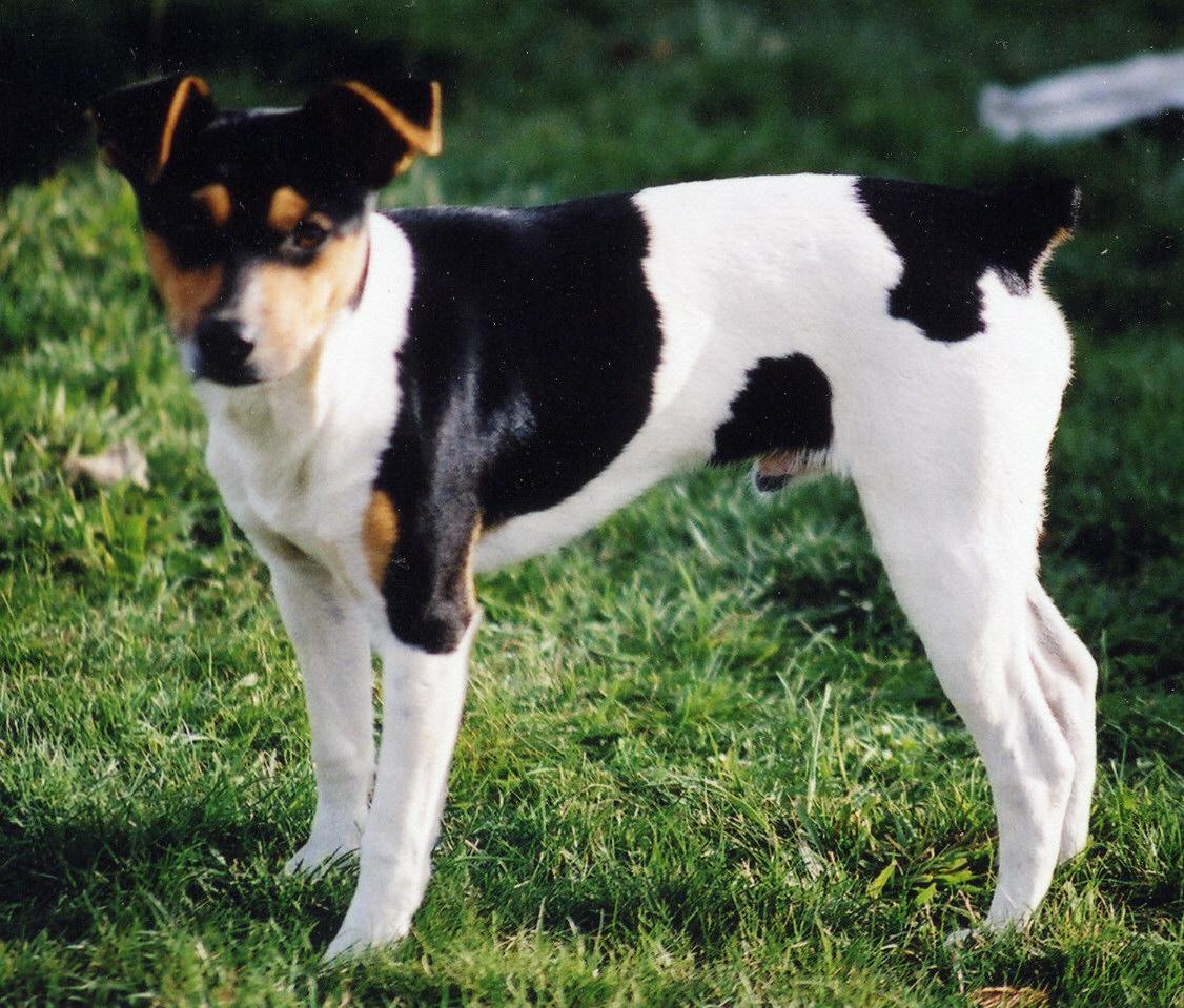 Rat Terrier Dog: Rat Ratterrier Breed