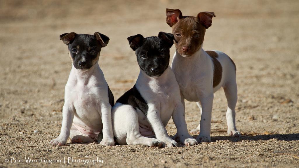 Rat Terrier Puppies: Rat Showthread Breed