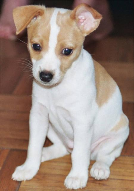 Rat Terrier Puppies: Rat Sophie Jean The Rat Terrier Breed