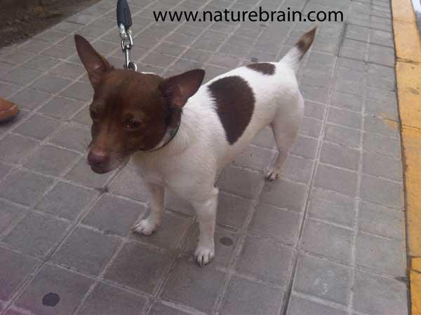 Ratonero Valenciano Dog: Ratonero Articulos De Caza En Valencia Caza De Aves Silvestrismo Breed