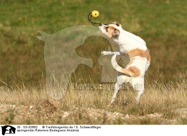 Ratonero Bodeguero Andaluz Dog: Ratonero Bild Breed