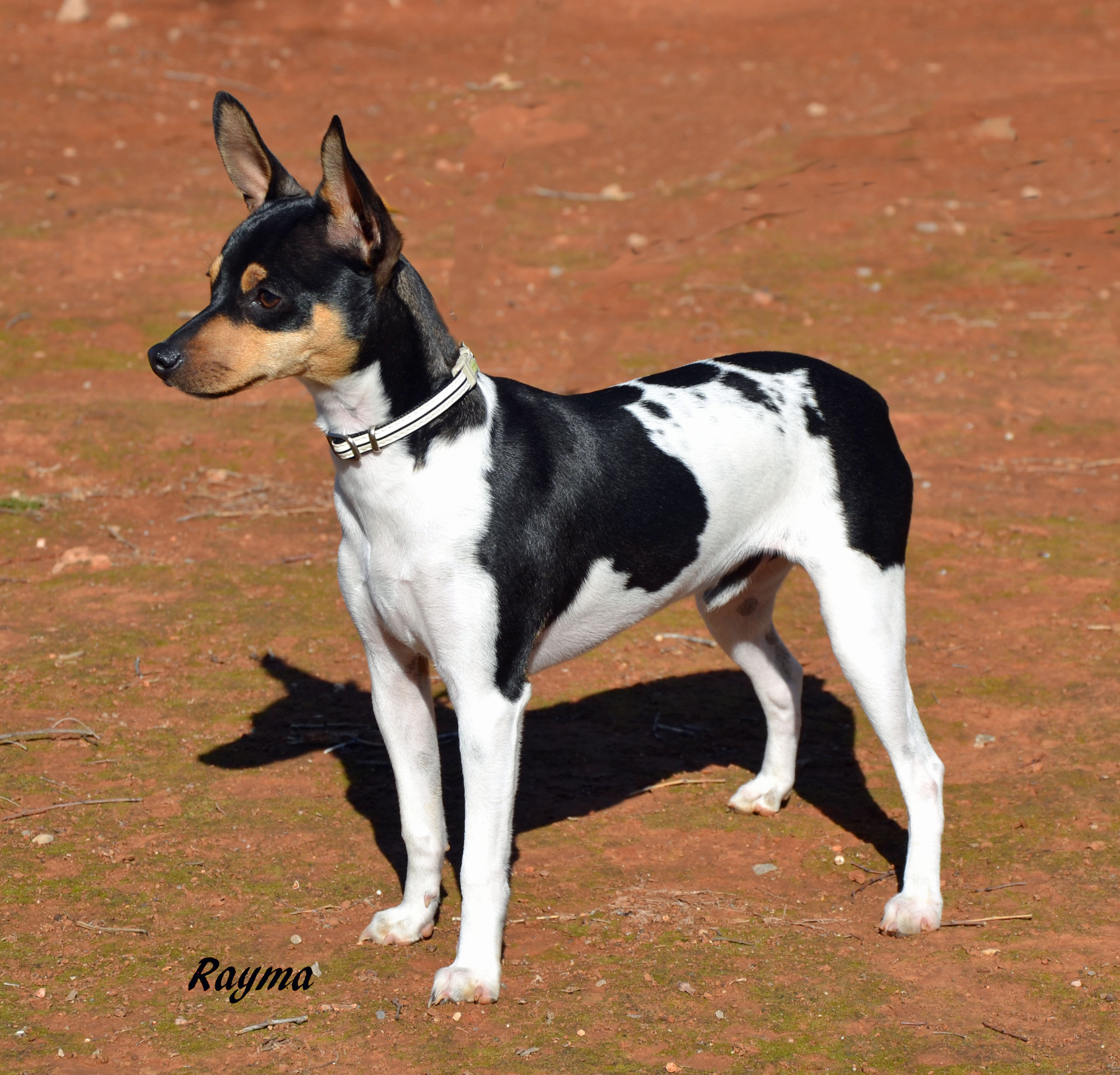 Ratonero Valenciano Dog: Ratonero Cute Ratonero Valenciano Dog Breed