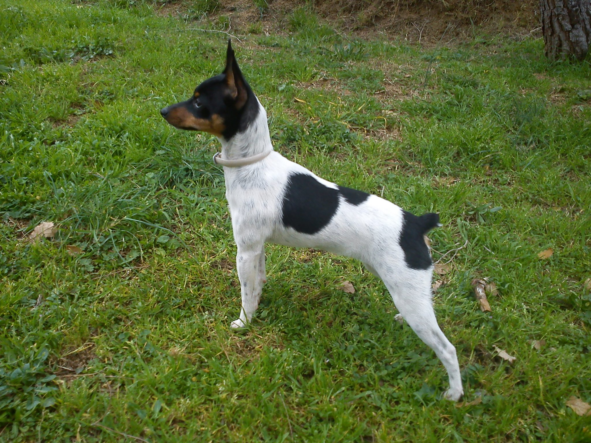 Ratonero Valenciano Puppies: Ratonero Dogo Guatemalteco The Grass And Beautiful Breed