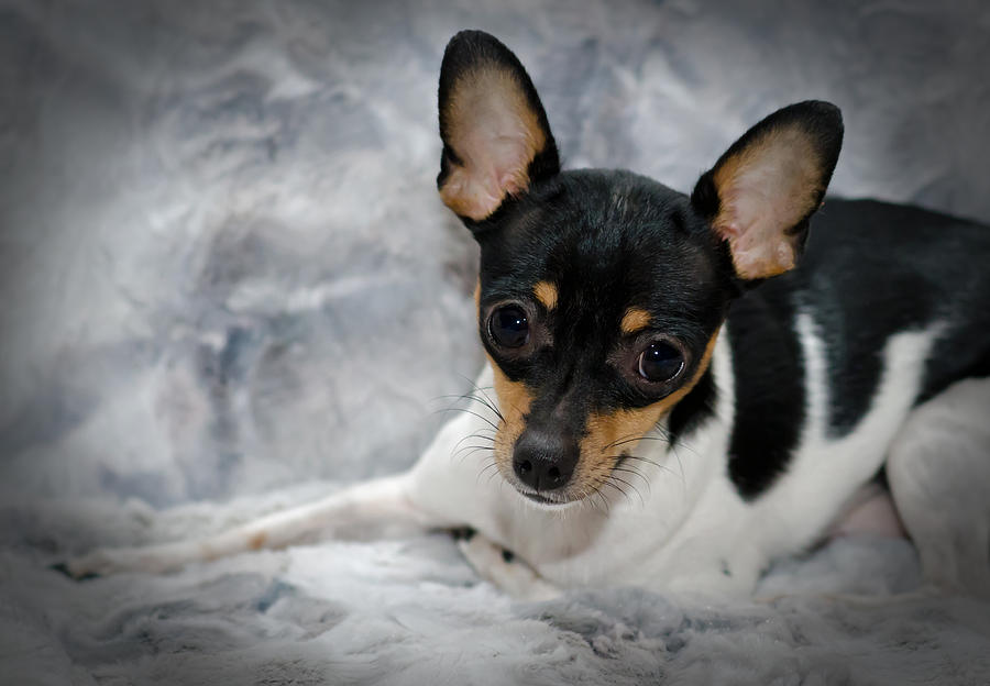 Ratonero Bodeguero Andaluz Puppies: Ratonero Miniature Rat Terrier Lisa Moore Breed