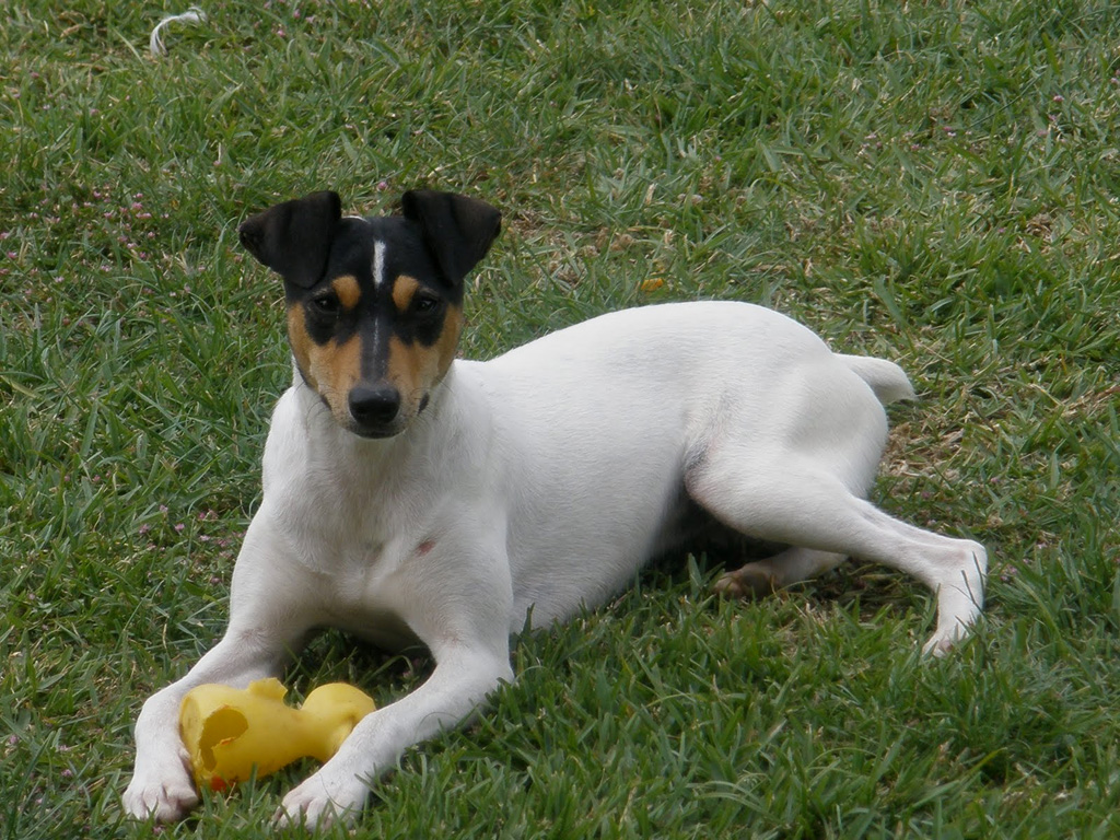 Ratonero Bodeguero Andaluz Puppies: Ratonero Ratonero Bodeguero Andaluz Breed