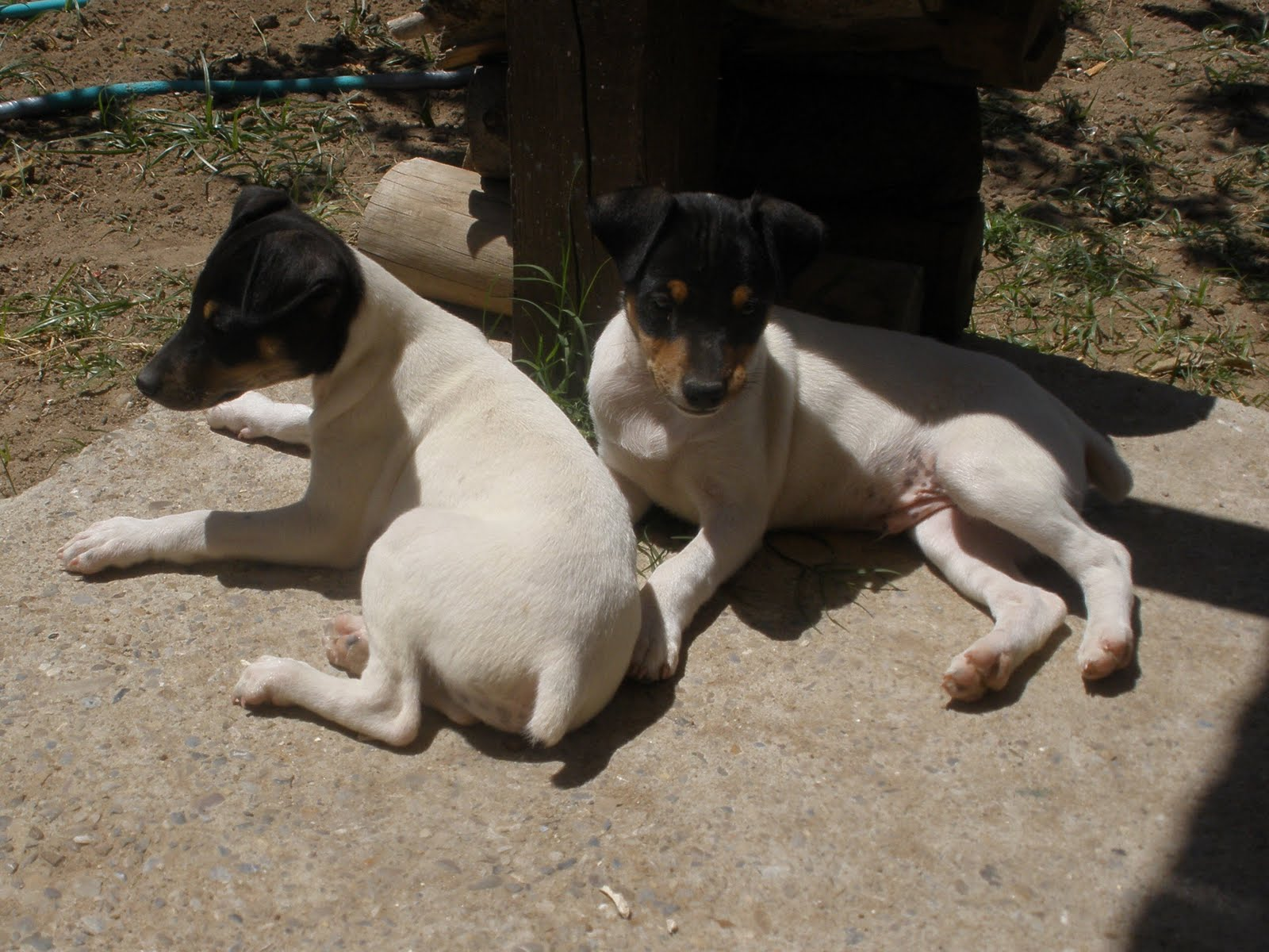 Ratonero Bodeguero Andaluz Puppies: Ratonero Ratonero Bodeguero Andaluz Dogs Breed