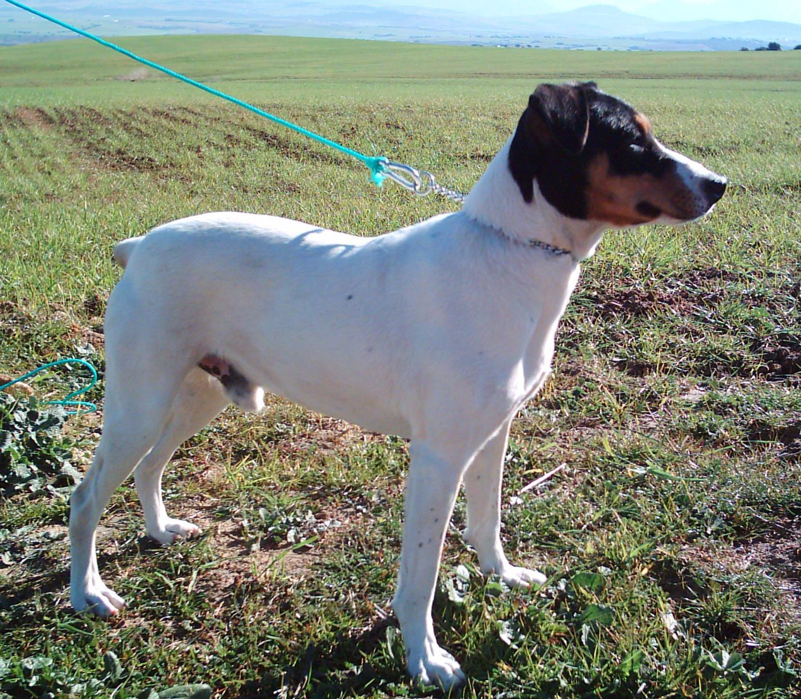 Ratonero Valenciano Puppies: Ratonero Ratonero Bodeguero Andaluz On The Field Breed