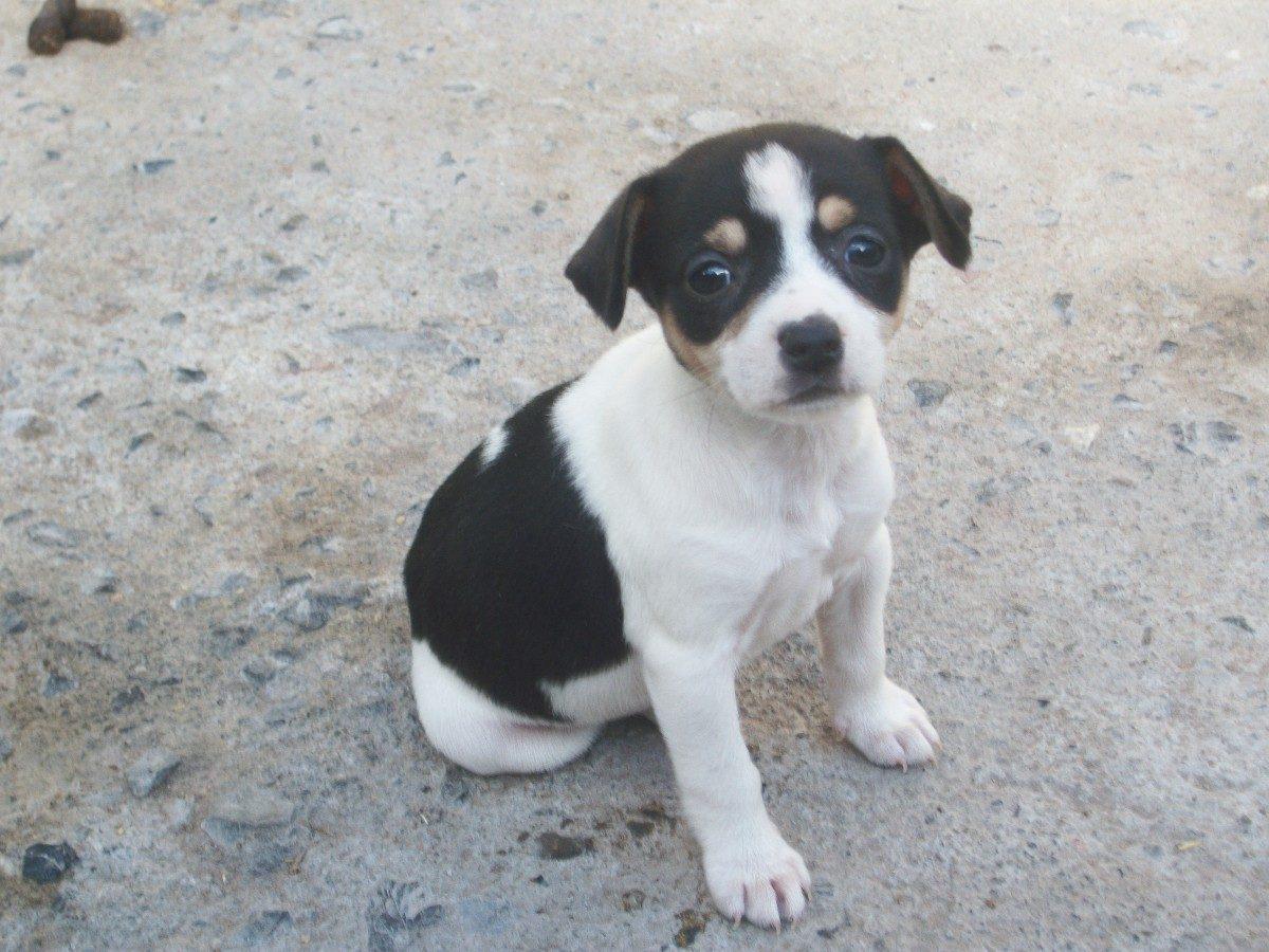 Ratonero Valenciano Dog: Ratonero Ratonero Valenciano Puppy Breed