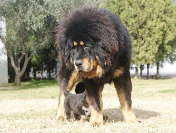 Ratonero Valenciano Puppies: Ratonero Tibetan Mastiff Puppies At Parashar Kennel Breed