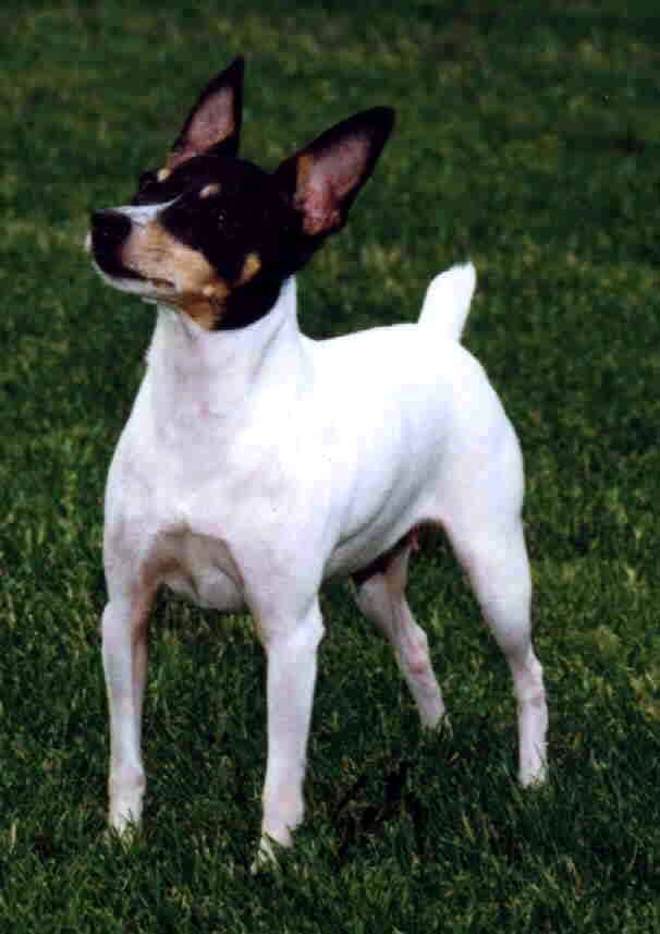Ratonero Bodeguero Andaluz Puppies: Ratonero Toy Fox Terrier Breed