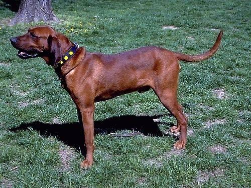 Redbone Coonhound Dog: Redbone Is Your Redbone Coonhound Potty Trained Breed