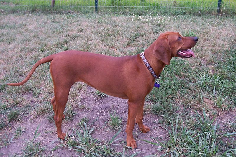 Redbone Coonhound Dog: Redbone Redbone Coonhound Dog Breed
