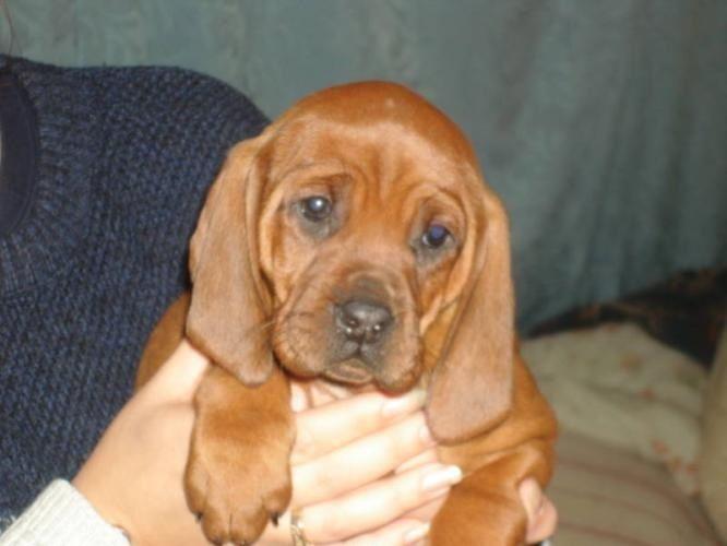 Redbone Coonhound Puppies Puppy Dog Gallery