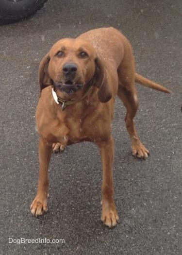 Redbone Coonhound Dog: Redbone Redbonecoonhounds Breed