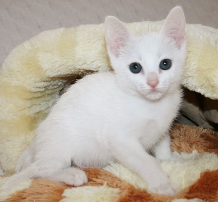 Khao Manee Kitten: Reduced Registered Ped White Khao Manee Kitten Eastleigh Breed