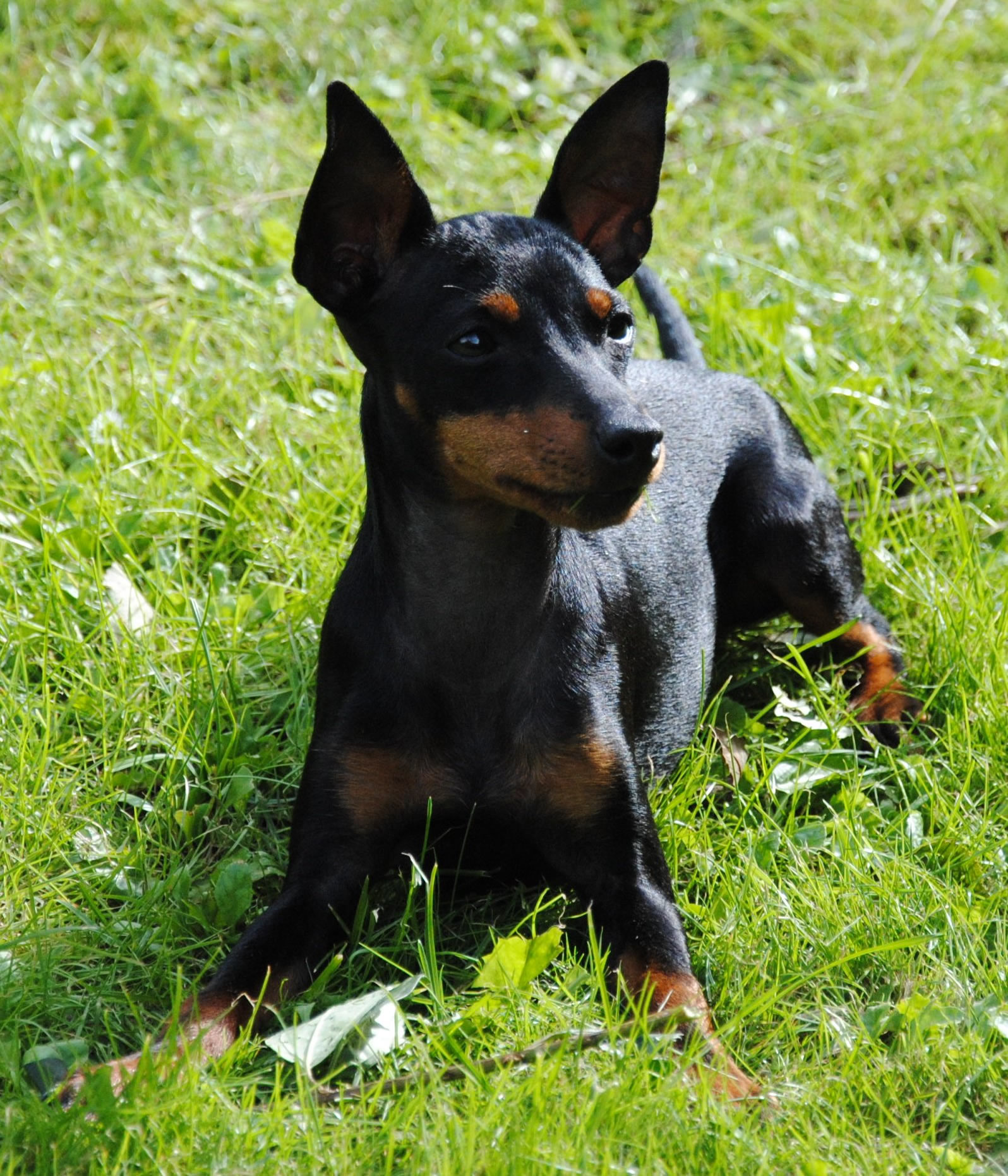 English Toy Terrier (Black & Tan) Dog: Resting English Toy Terrier Black Tan Dog Breed