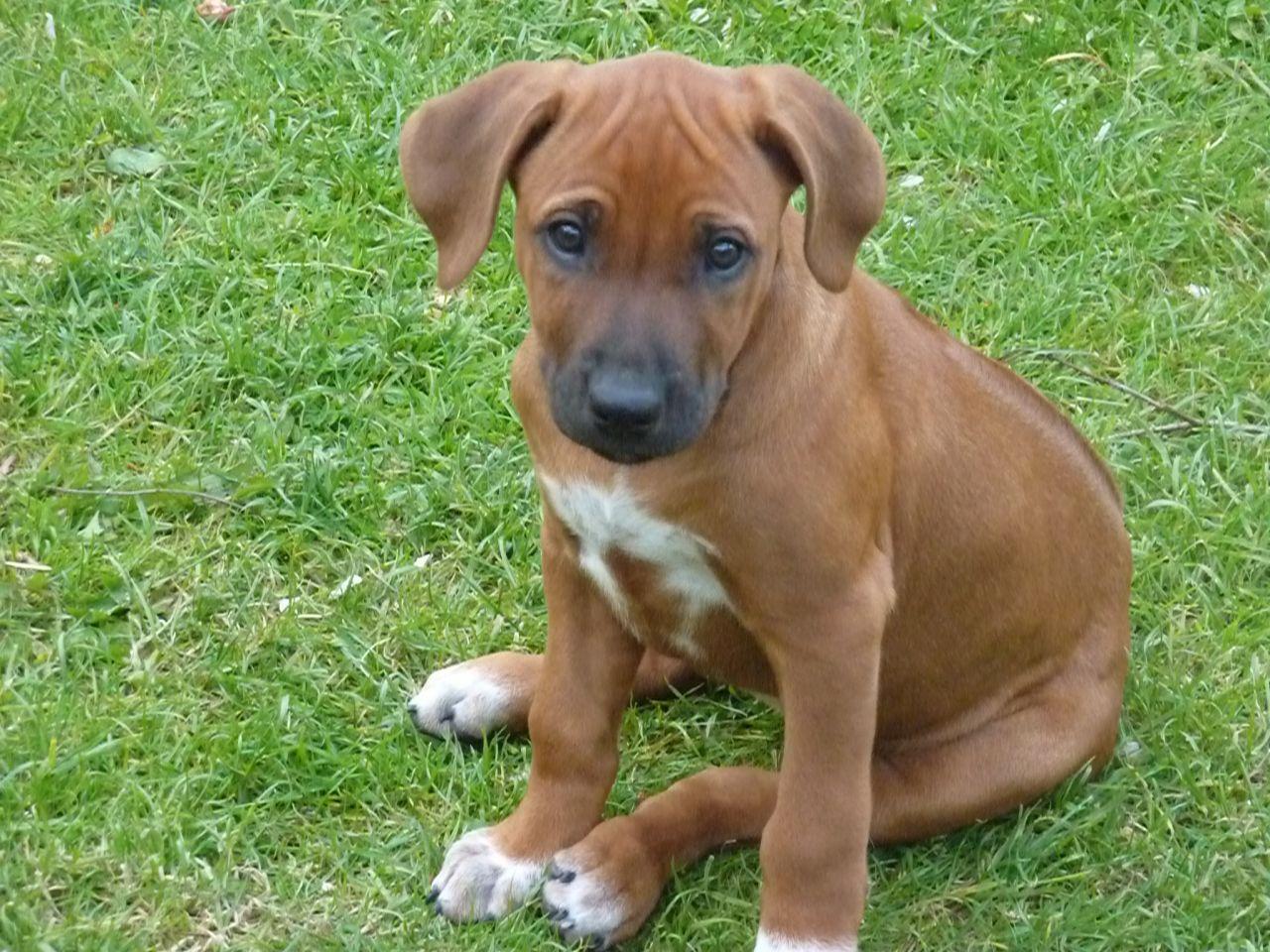 Rhodesian Ridgeback Dog: Rhodesian Httpccmedienmarktdecbildercccccddabcmediumccrhodesiawelpenohnepapierejpg Breed