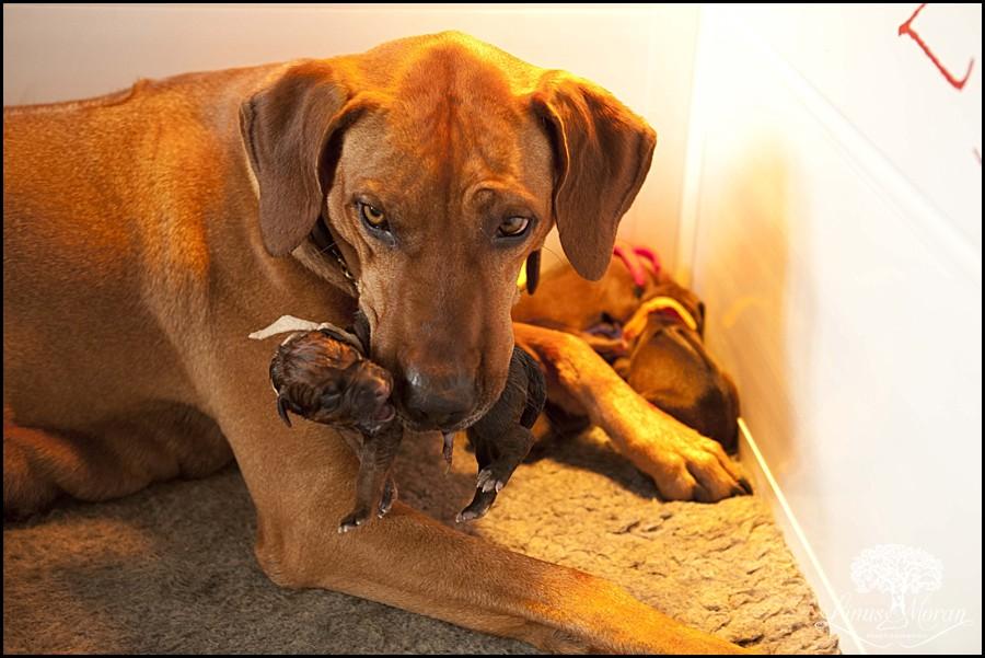 Rhodesian Ridgeback Puppies: Rhodesian Index Breed