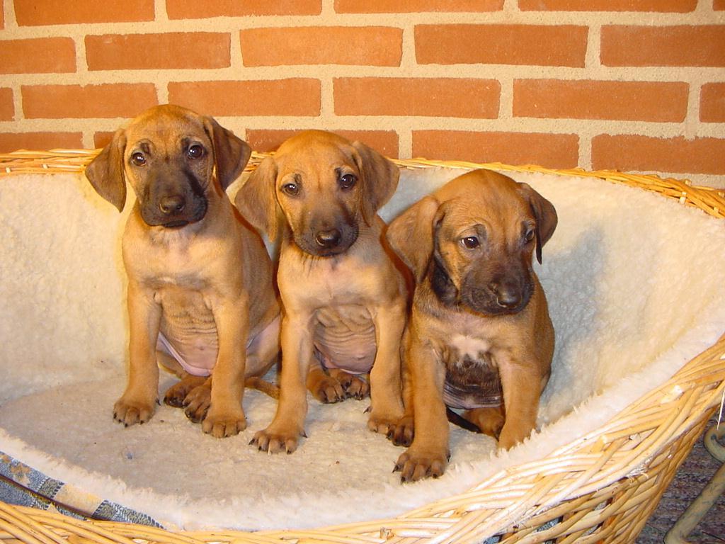 Rhodesian Ridgeback Dog: Rhodesian Razas Caninas R S Breed
