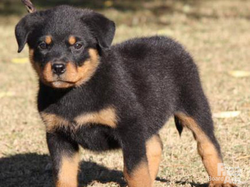 Rottweiler Puppies: Rottweiler Rottweiler Puppies Beautiful New Breed