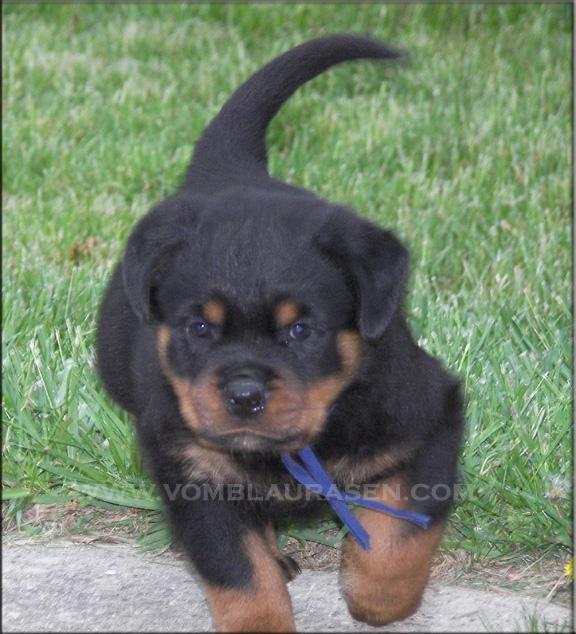 Rottweiler Puppies Puppy Dog Gallery