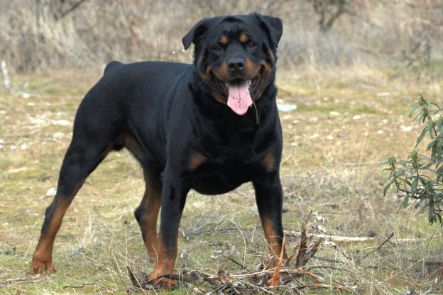 Rottweiler Dog: Rottweiler The Rottweiler Dogs Breed