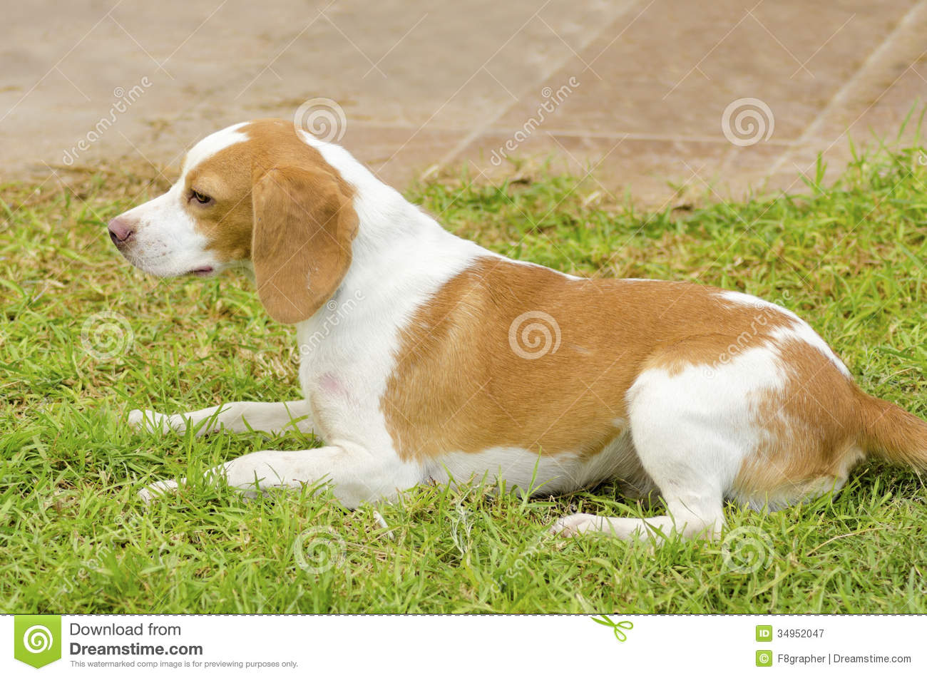 Istrian Shorthaired Hound Dog: Royalty Free Stock Graphy Istrian Shorthaired Hound Young Beautiful White Orange Puppy Dog Sitting Lawn Short Haired Breed