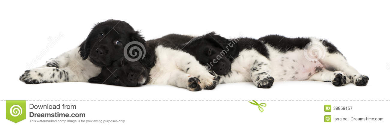 Stabyhoun Puppies: Royalty Free Stock Graphy Stabyhoun Puppies Lying Down Together Resting Isolated White Breed