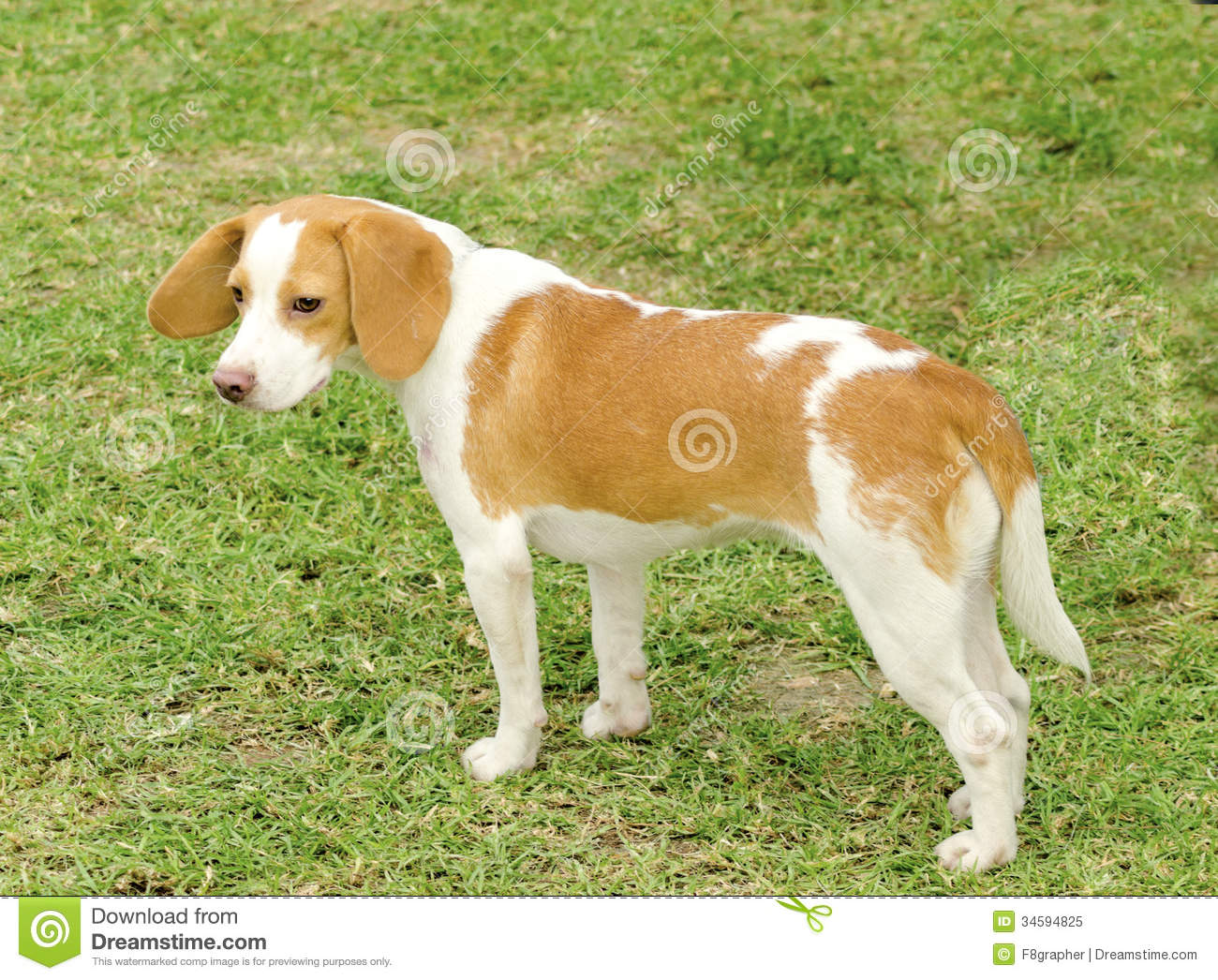 Istrian Shorthaired Hound Dog: Royalty Free Stock Istrian Shorthaired Hound Young Beautiful White Orange Puppy Dog Standing Lawn Short Haired Breed